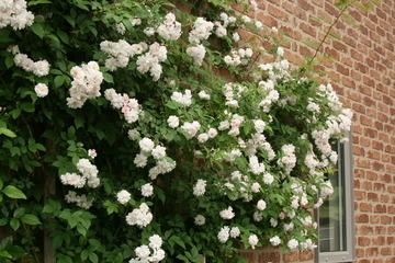 壁のバラ09
